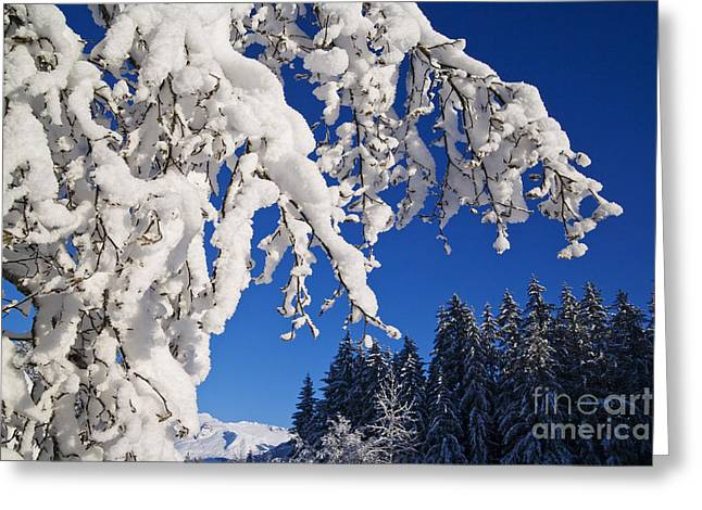 Life Line Greeting Cards - Snowy Evergreens Greeting Card by John Hyde - Printscapes