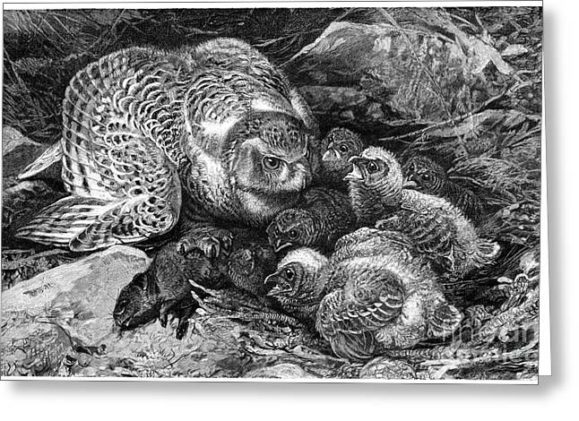 Feeds Chicks Greeting Cards - Snowy Owl And Chicks, 19th Century Greeting Card by Spl
