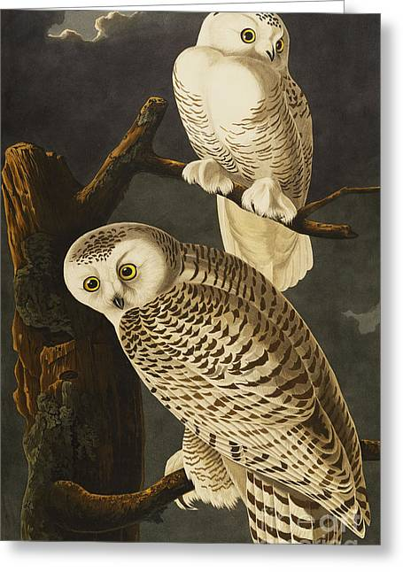 Snowy Night Night Greeting Cards - Snowy Owl Greeting Card by John James Audubon