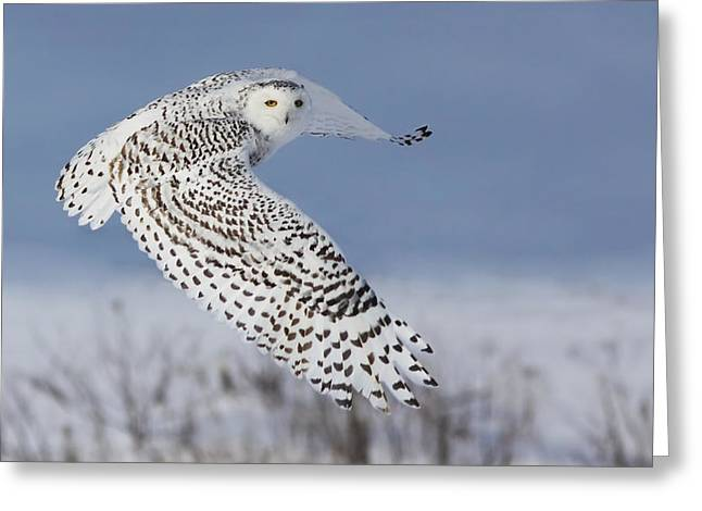 Nature Greeting Cards - Snowy Owl Greeting Card by Mircea Costina