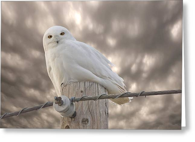 Snowy Digital Art Greeting Cards - Snowy Owl Saskatchewan Canada Greeting Card by Mark Duffy