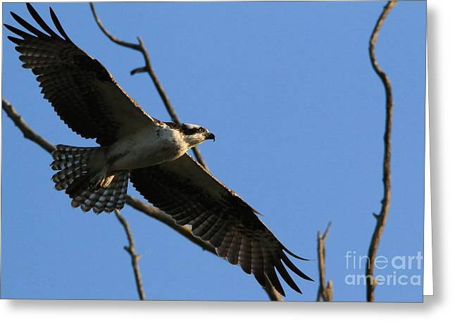 Hunting Bird Greeting Cards - Soaring Into The Setting Sun Greeting Card by Craig Corwin