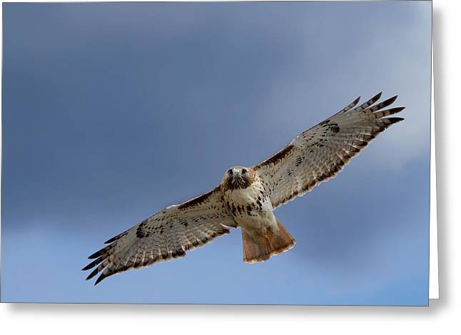 Redtail Hawks Greeting Cards - Soaring Red Tail Greeting Card by Bill  Wakeley