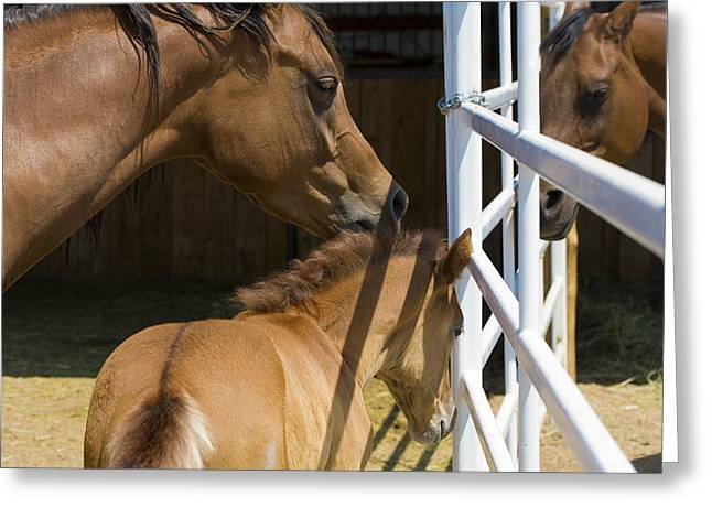 Socialize Greeting Cards - Socializing Amongst Horses Greeting Card by Marilyn Hunt