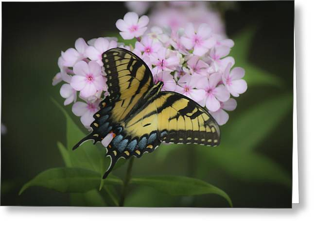 Phlox Greeting Cards - Soft Focus Tiger Swallowtail Greeting Card by Teresa Mucha