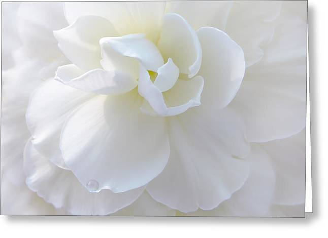 Ivory Flower Greeting Cards - Soft Ivory Begonia Flower Greeting Card by Jennie Marie Schell