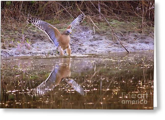 Red Shouldered Hawk Greeting Cards - Soft Landing on the Pond Greeting Card by Carol Groenen