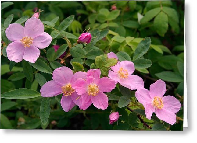 Soft Light On Nookta Rose Rosa Nutkana Greeting Card by Ralph Lee Hopkins