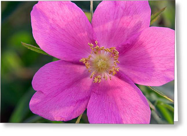 Radial Symmetry Greeting Cards - Soft Light On Nootka Rose Rosa Nutkana Greeting Card by Ralph Lee Hopkins