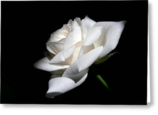 Soft Light White Rose Flower  Greeting Card by Jennie Marie Schell