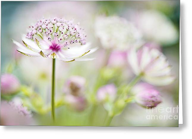 Recently Sold -  - Close Focus Floral Greeting Cards - Soft on Astrantia Greeting Card by Jacky Parker