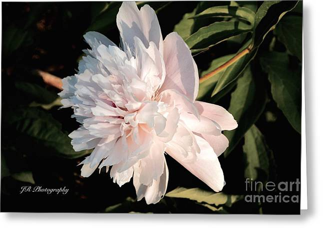 Spring Bulbs Greeting Cards - Soft Pink Peony Petals Greeting Card by Jeannie Rhode Photography