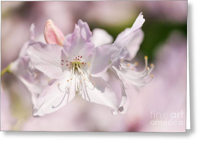 Soft Pink Rhododendron Or Azalea Greeting Card by Arletta Cwalina