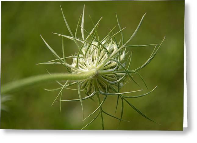Soft Spiky Back Greeting Card by Tina M Wenger