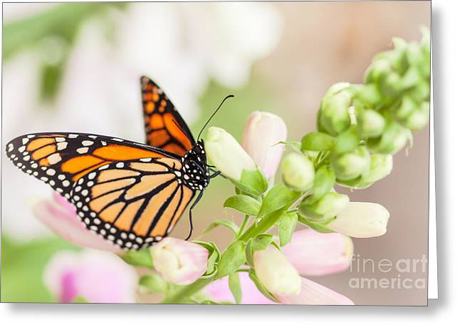 Monarch Greeting Cards - Soft Spring Butterfly Greeting Card by Ana V  Ramirez