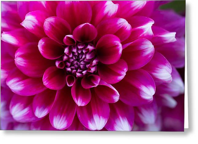 Soft Touch Dahlia Greeting Card by Mary Jo Allen