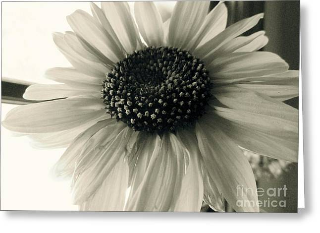 Sepia White Nature Landscapes Greeting Cards - Soft White Light Greeting Card by Trish Hale