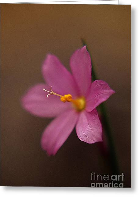Print Photographs Greeting Cards - Softly Pink Greeting Card by Sharon Elliott