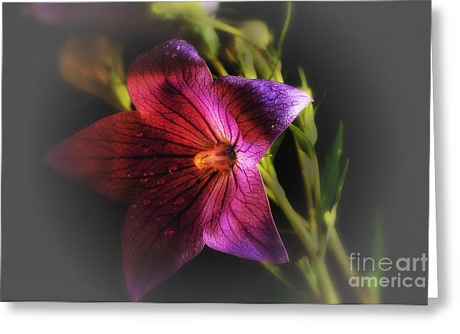 Balloon Flower Photographs Greeting Cards - Softness Greeting Card by Arnie Goldstein