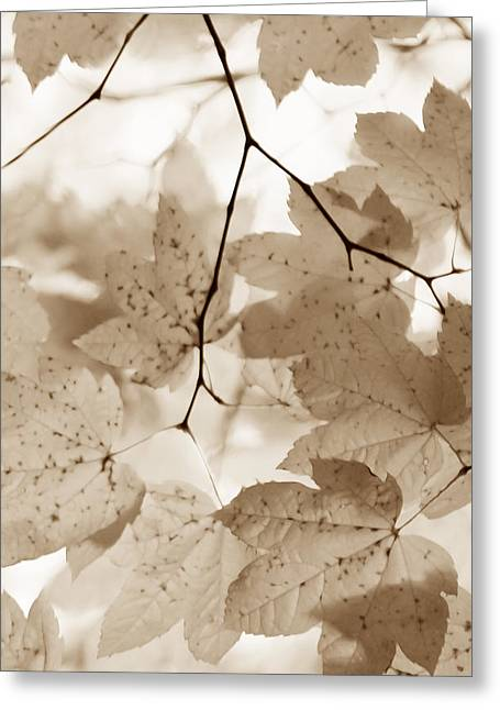 Brown Leaf Greeting Cards - Softness of Brown Maple Leaves Greeting Card by Jennie Marie Schell