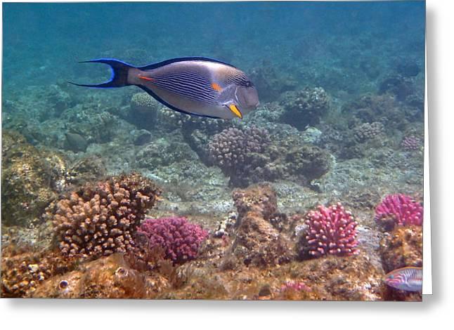 Decorative Fish Greeting Cards - Sohal Surgeonfish Acanthurus sohal Greeting Card by Johanna Hurmerinta