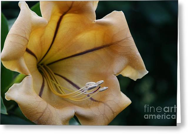Flowering Vines Greeting Cards - Solandra maxima  Cup of Gold Flower Greeting Card by Sharon Mau