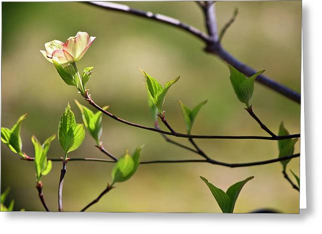 Memorable Greeting Cards - Solitary Dogwood Bloom Greeting Card by Teresa Mucha