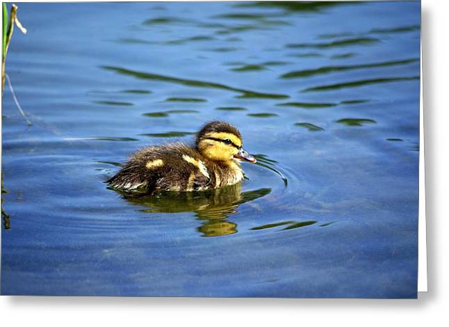 Ducklings Greeting Cards - Solo Greeting Card by Linda Mishler