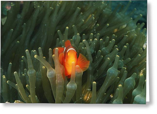 Damselfish Greeting Cards - Solomon Islands, Spine Cheak Greeting Card by James Forte