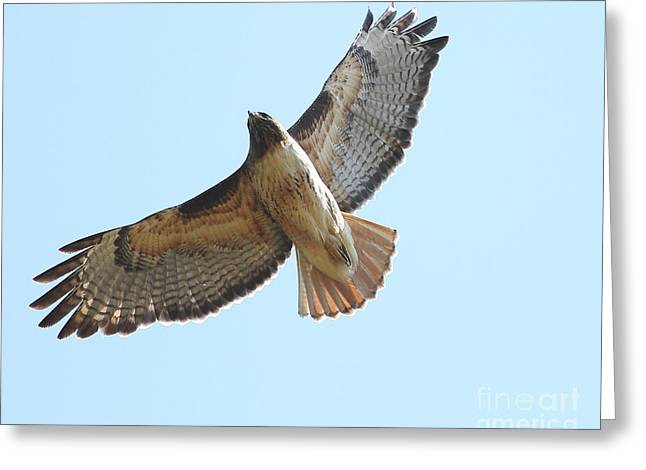 Somewhere In The Sky A Red Tailed Hawk Soars Greeting Card by Wingsdomain Art and Photography