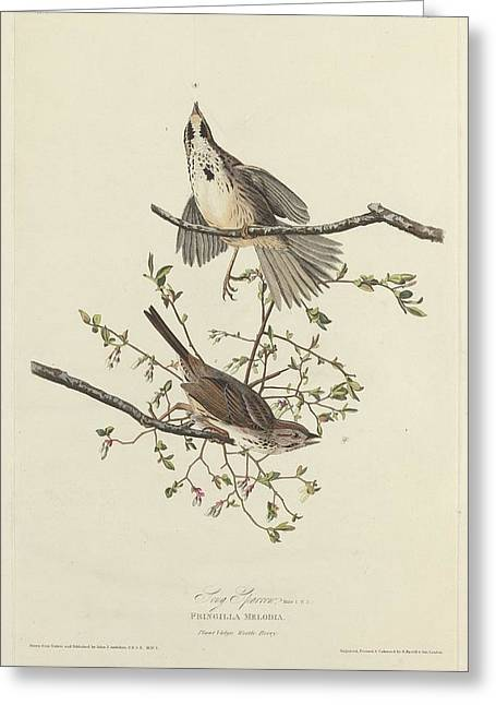 Sparrow Greeting Cards - Song Sparrow Greeting Card by John James Audubon