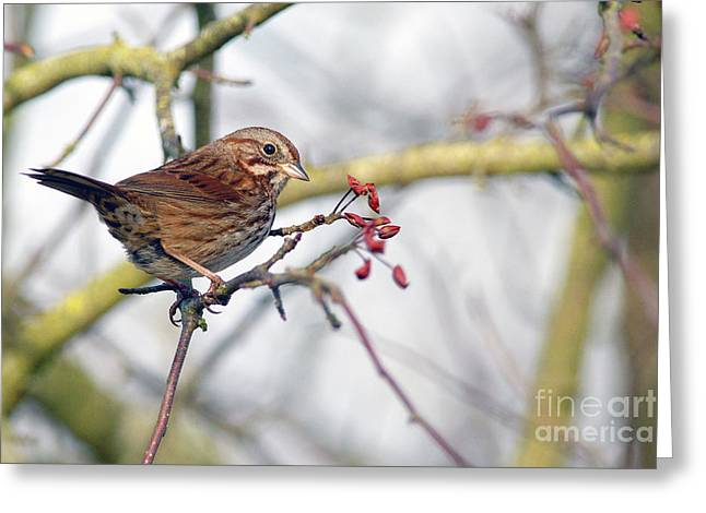 Sparrow Greeting Cards - Song Sparrow Greeting Card by Sharon  Talson