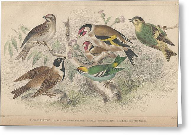 Thomas Drawings Greeting Cards - Songbirds Greeting Card by Oliver Goldsmith