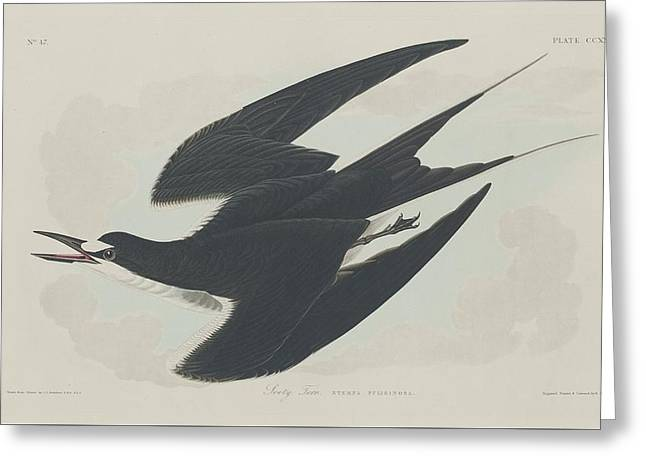 Shorebird Greeting Cards - Sooty Tern Greeting Card by John James Audubon