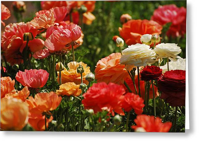 Sorbet Greeting Cards - Sorbet Flowers Greeting Card by Jean Booth