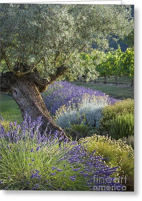 Grapevines Greeting Cards - Southern France Garden Greeting Card by Brian Jannsen