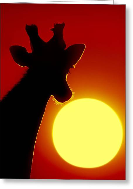 Animal Body Part Greeting Cards - Southern Giraffe Giraffa Camelopardalis Greeting Card by Panoramic Images