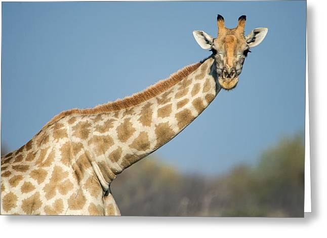 Animal Body Part Greeting Cards - Southern Giraffe Giraffa Greeting Card by Panoramic Images
