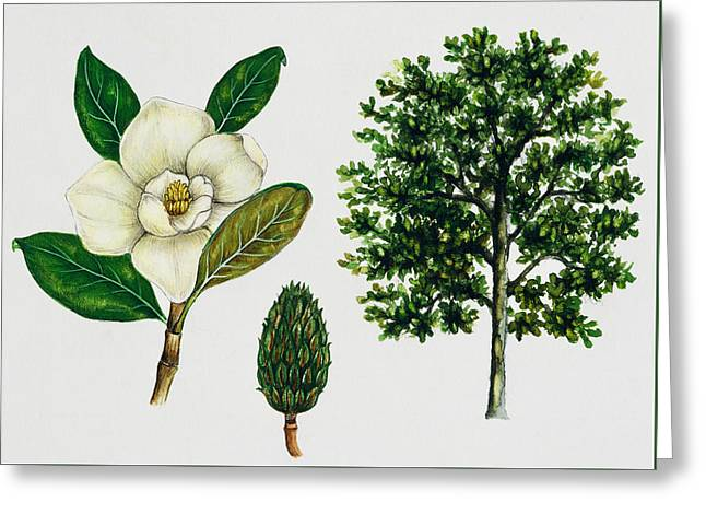 Magnoliaceae Greeting Cards - Southern magnolia or Bull bay  Greeting Card by Unknown