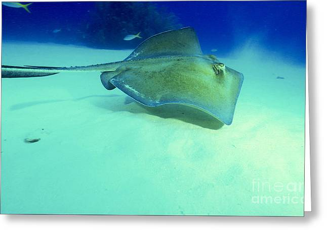 Southern Sting Ray Greeting Card by Gregory Ochocki and Photo Researchers