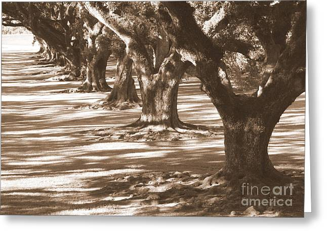 Tree Roots Photographs Greeting Cards - Southern Sunlight on Live Oaks Greeting Card by Carol Groenen