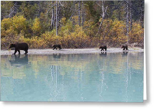 On The Beach Greeting Cards - Sow Grizzly And Three Cubs Walking Greeting Card by Rob Daugherty
