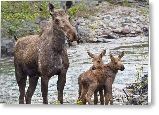 Innocence Greeting Cards - Sow Moose And Calves At Waterton Greeting Card by Richard Wear