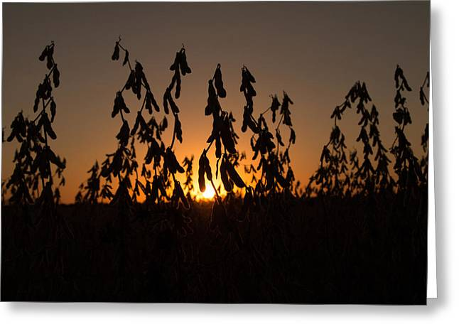 Soybean Sunset Greeting Card by Andrea Kappler