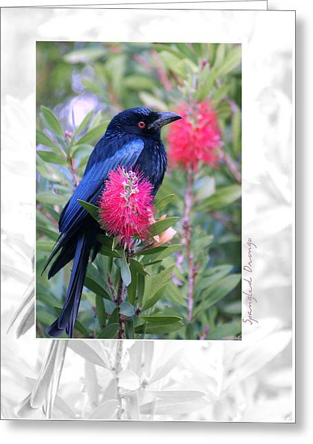 Spangled Greeting Cards - Spangled Drongo Greeting Card by Holly Kempe