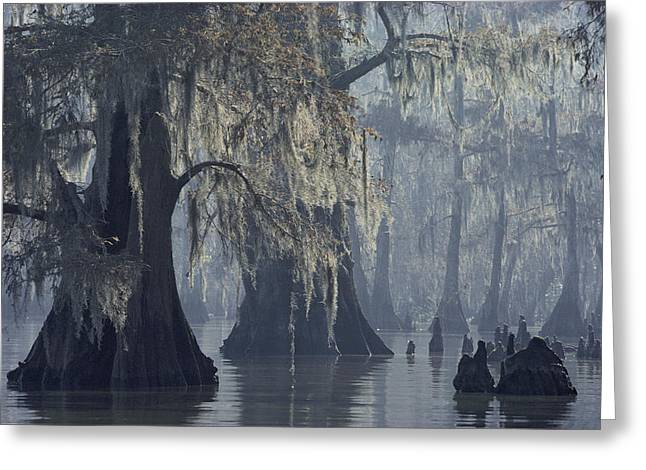 Cypress Trees Greeting Cards - Spanish Moss Drapes Old Cypress Trees Greeting Card by John Eastcott And Yva Momatiuk