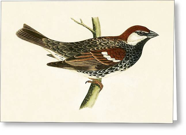 Spanish Sparrow Greeting Card by English School