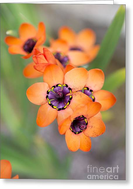 Color Colorful Greeting Cards - Sparaxis Elegans Greeting Card by Tim Gainey