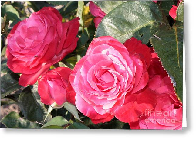 Sunlight On Flowers Greeting Cards - Sparkling Roses Greeting Card by Carol Groenen
