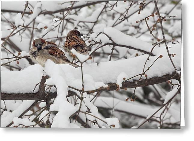 Sparrow Greeting Cards - Sparrows and Snow  Greeting Card by Robert Ullmann